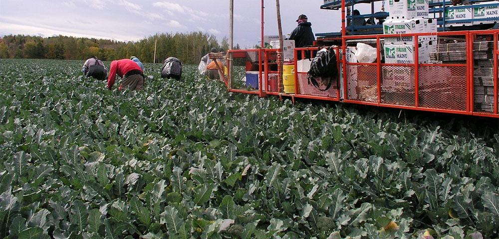 Recolección de broccoli en Murcia