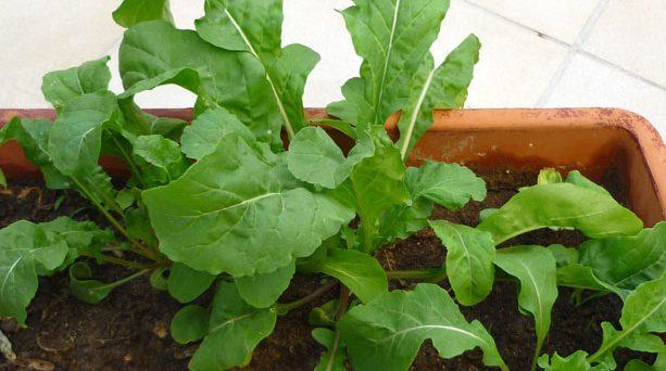 Cómo germinar y recolectar la rúcula
