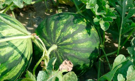 Informe técnico para el cultivo de la sandía