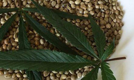 Las semillas de marihuana en España