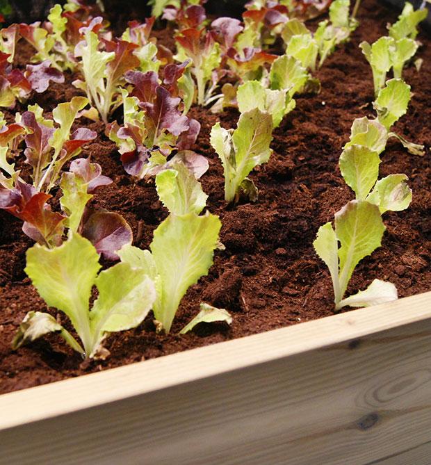Planteles o semillas