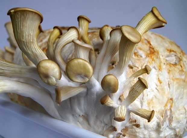 Setas Pleurotus ostreatus