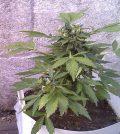 Tierras y sustratos para plantas de marihuana