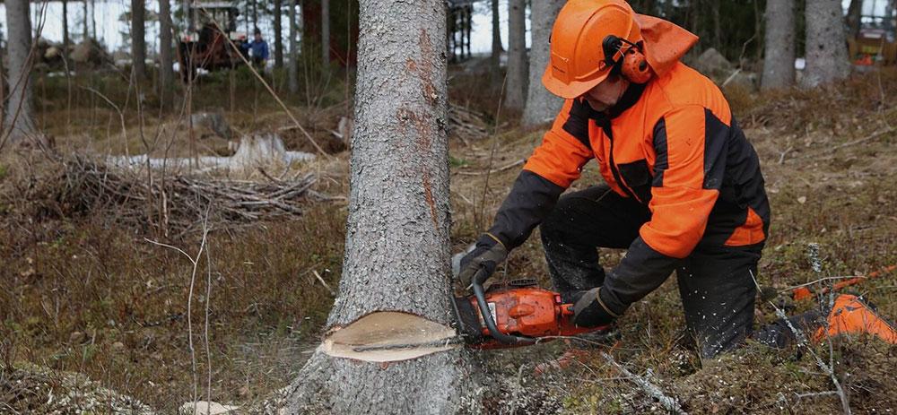 Talar un árbol con motosierra