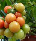 Cultivo de tomate en maceta