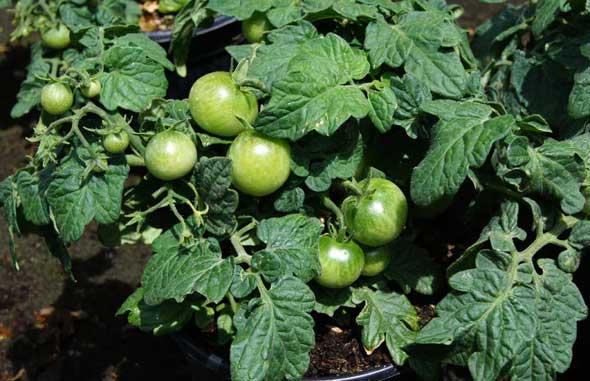 Tomate ornamental en maceta