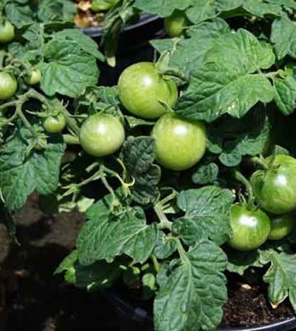 Tomate ornamental en maceta