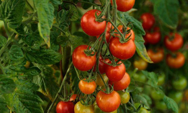 Informe técnico para el cultivo del tomate