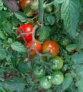 Tomates en rama