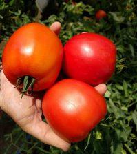 Tomates tratados con glicina betaina