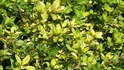 Cultivo del Tomillo sanjuanero