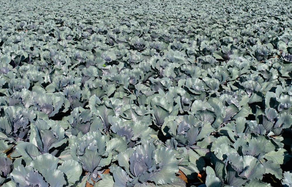 El molibdeno agrícola