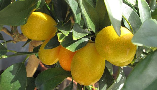 Variedades de kumquat