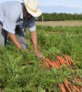 Cultivo de la zanahoria