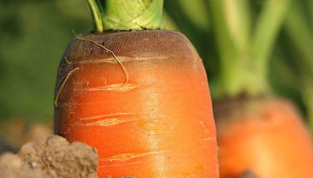 Recolección y propiedades de la zanahoria